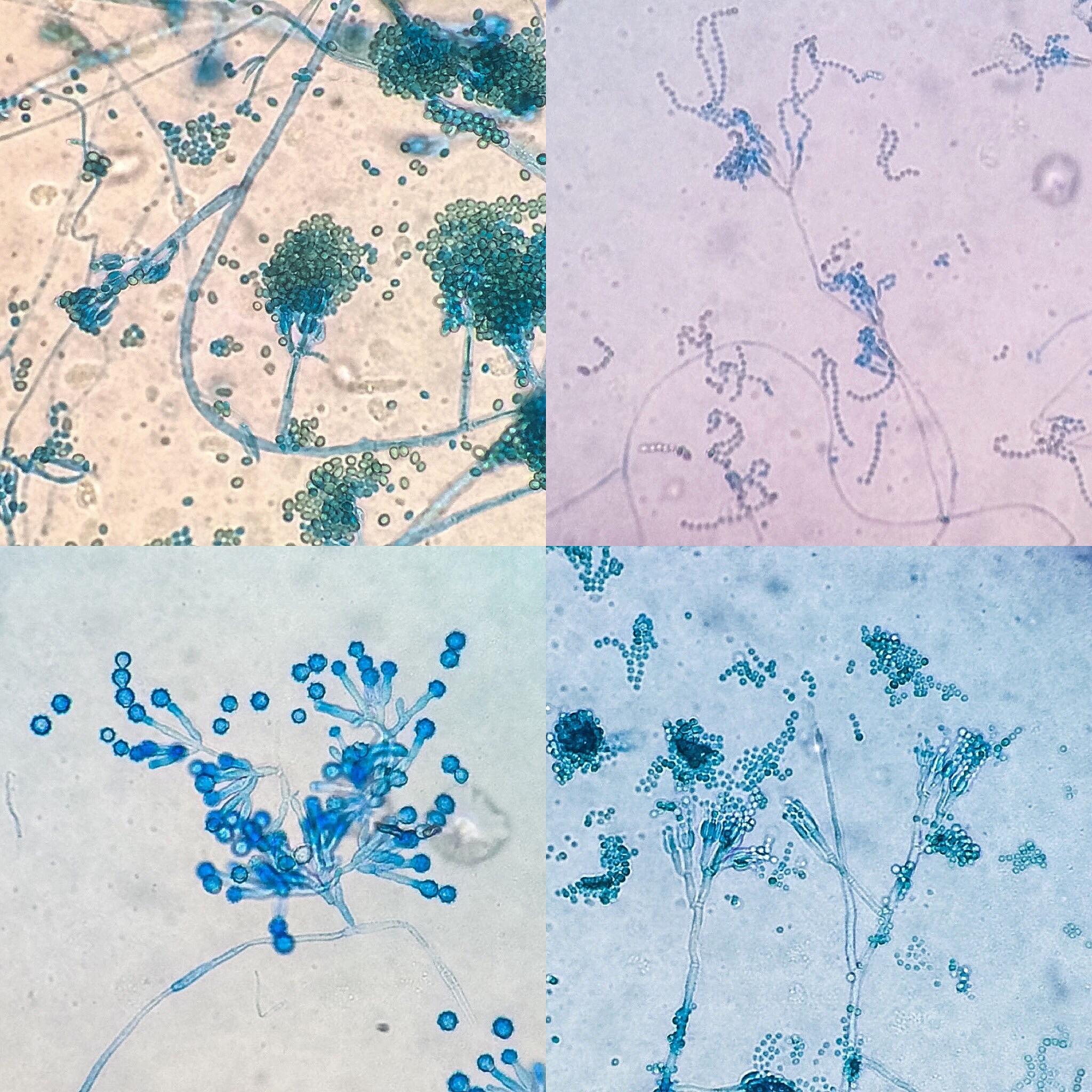 Gliolcadium, Paecilomyces, Penicillium, Scopulariopsis